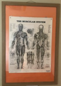 Photo of the muscular system from out Clinic in Trurio, Cornwall. Where we provide Sports massage and Sports Therapy